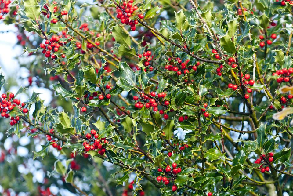 English Holly Bush with red berries close up