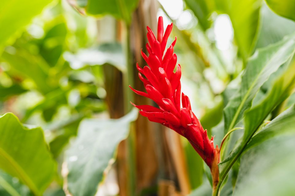 Red button ginger plant with red spiked flowers closeup