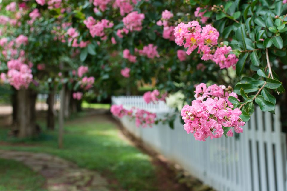 Pink Crepe Myrtles and a Picket Fence
