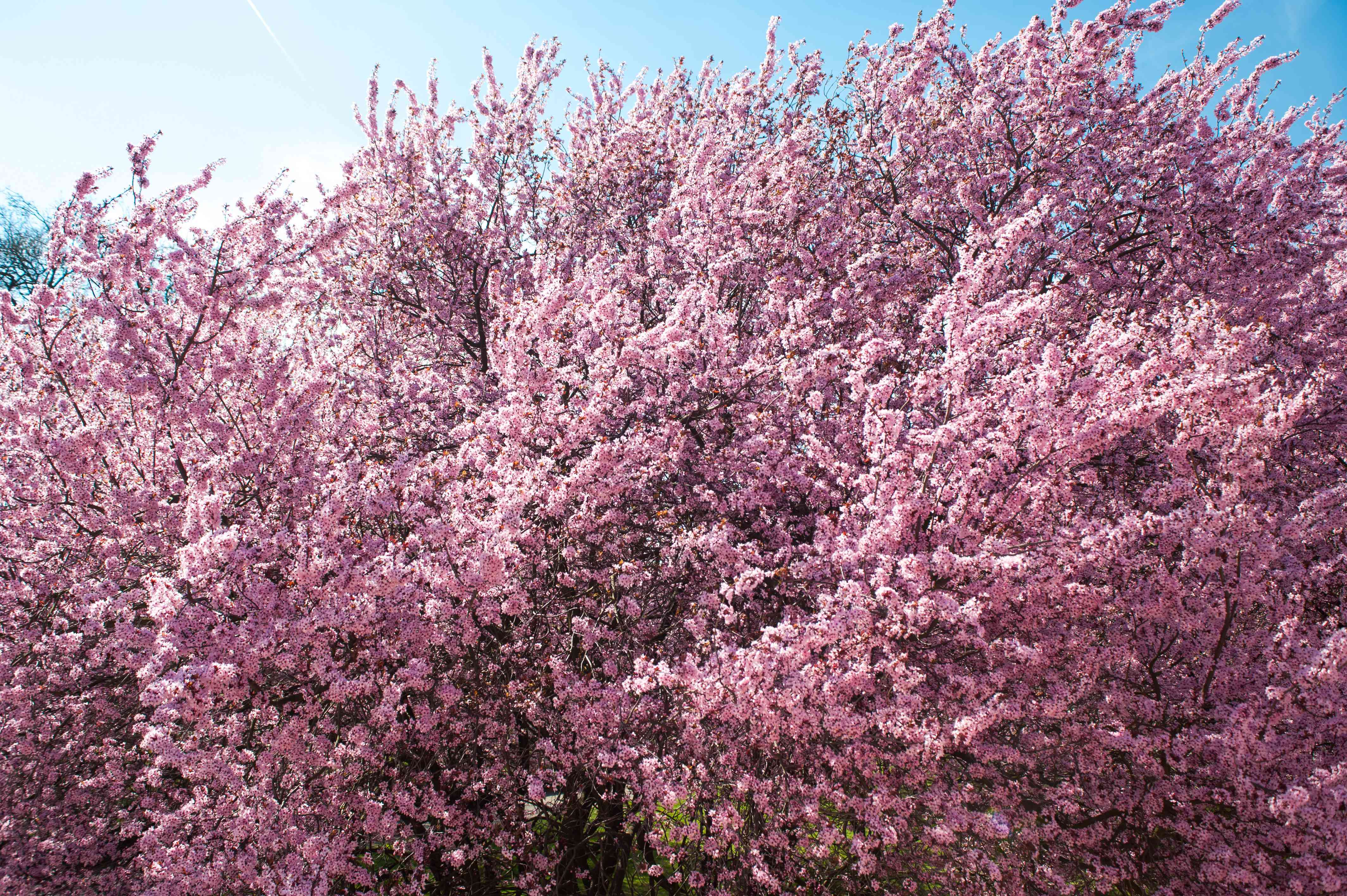 Purple leaf sand cherry tree with fluffy branches with pink flowers blowing in wind
