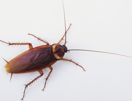 American cockroach from above