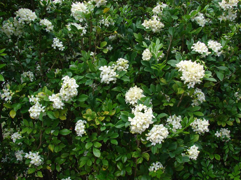 Orange jasmine flower shrubs