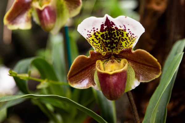 Lady slipper orchids with dark red spots on green and white petals above red and yellow pouch closeup