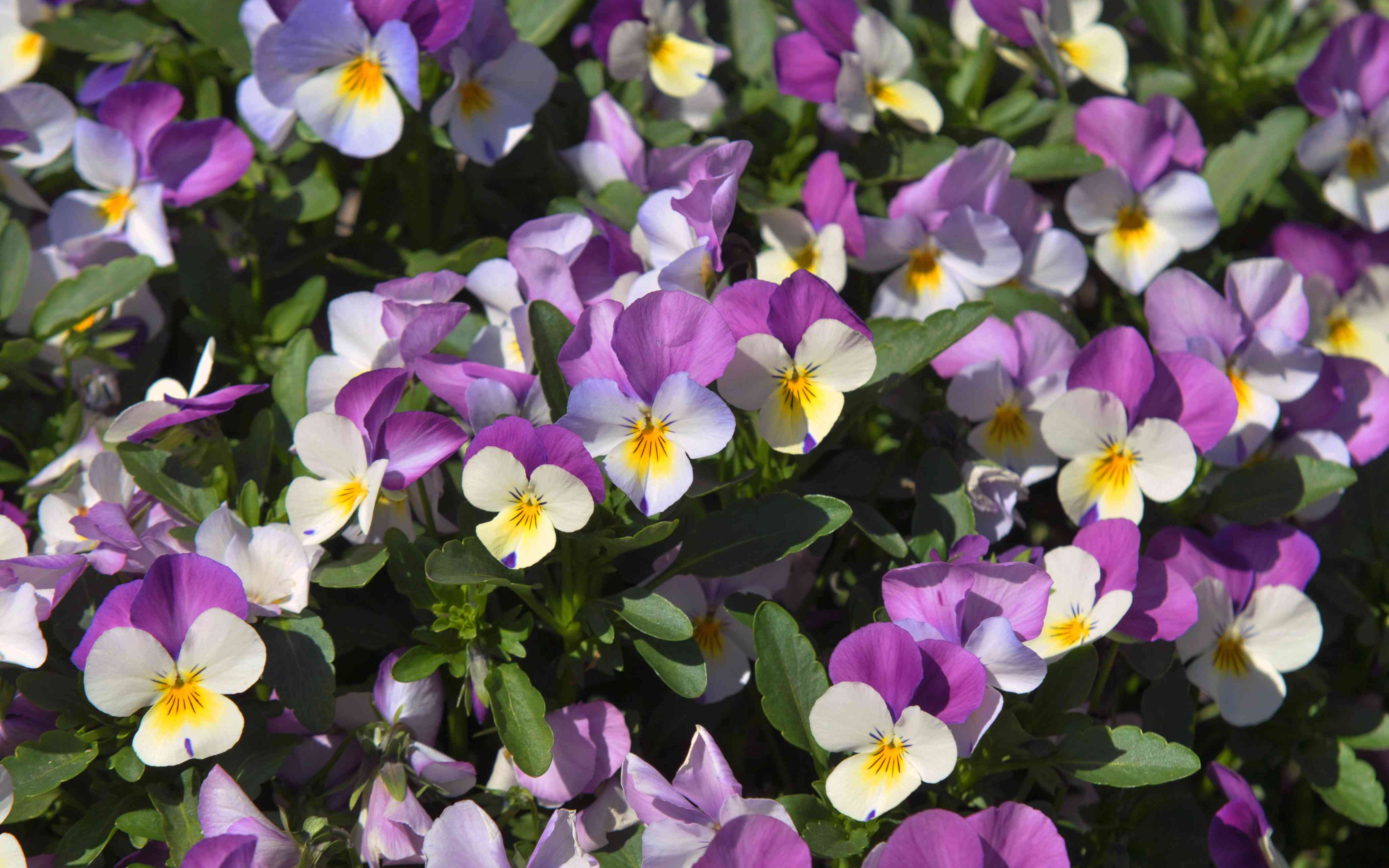 Pansy flowers with fuchsia and white petals with yellow centers