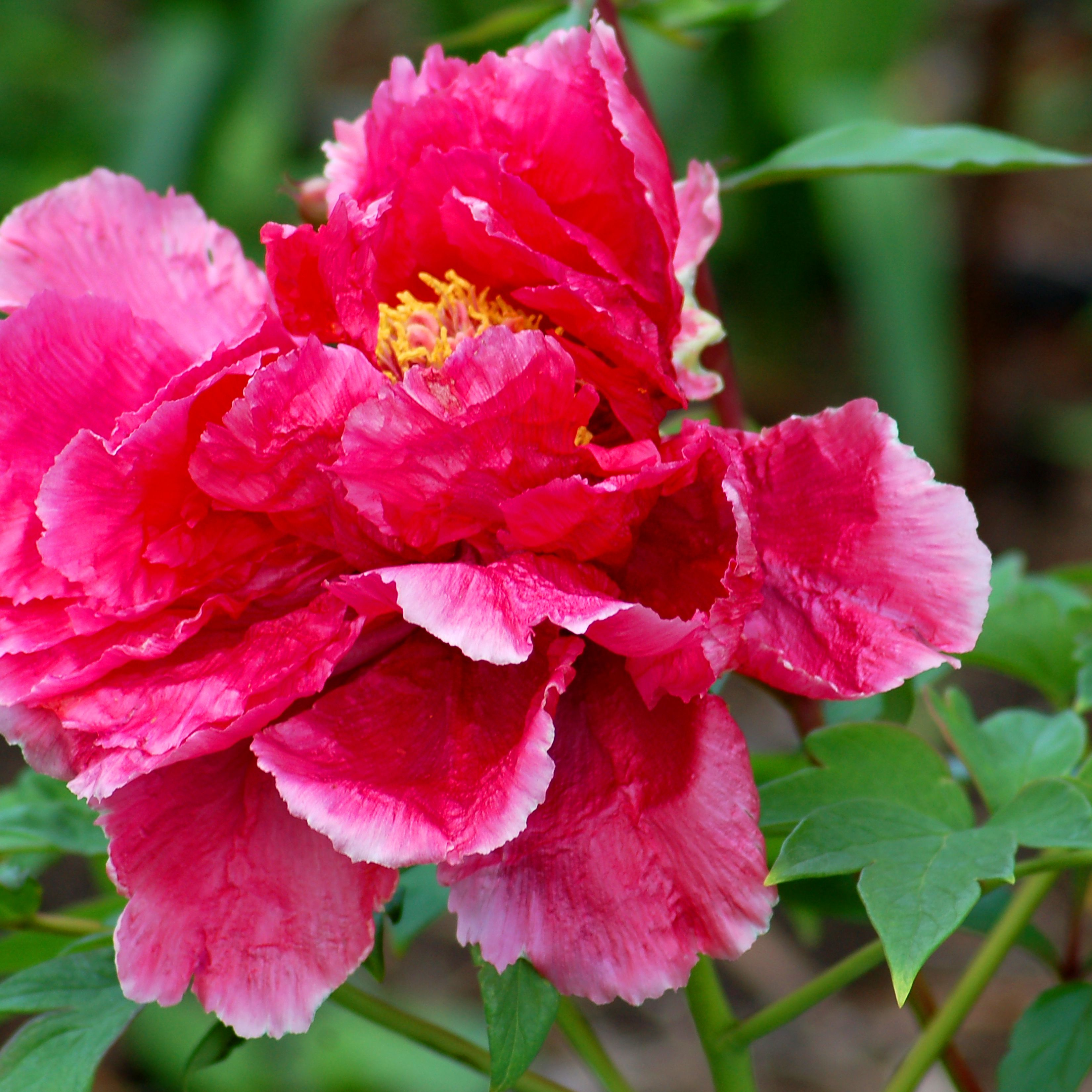 Tree Peony Care And Growing Tips