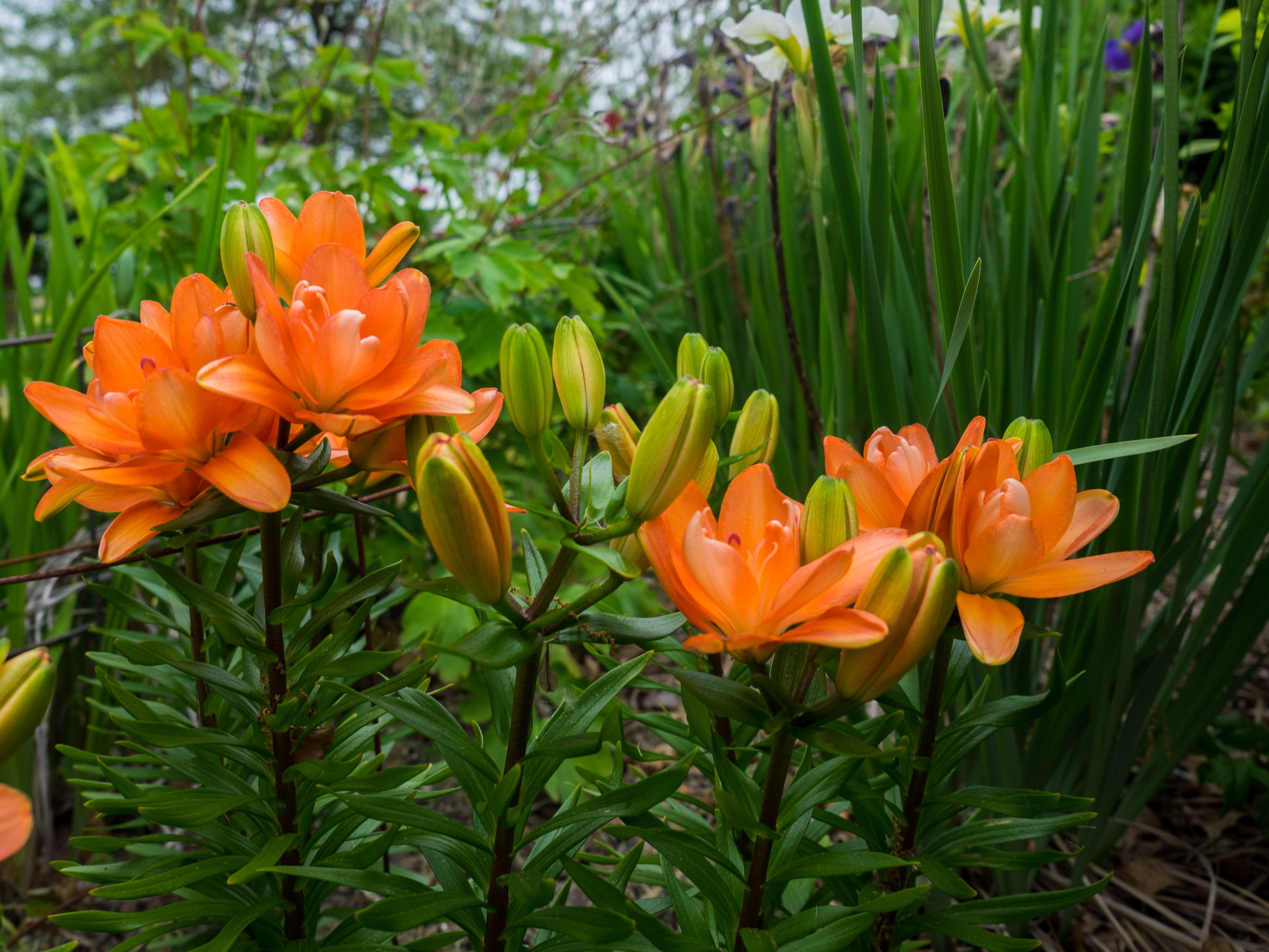 Pictures of different lily flowers 163 Types of Flowers A to Z With Pictures J Birdny