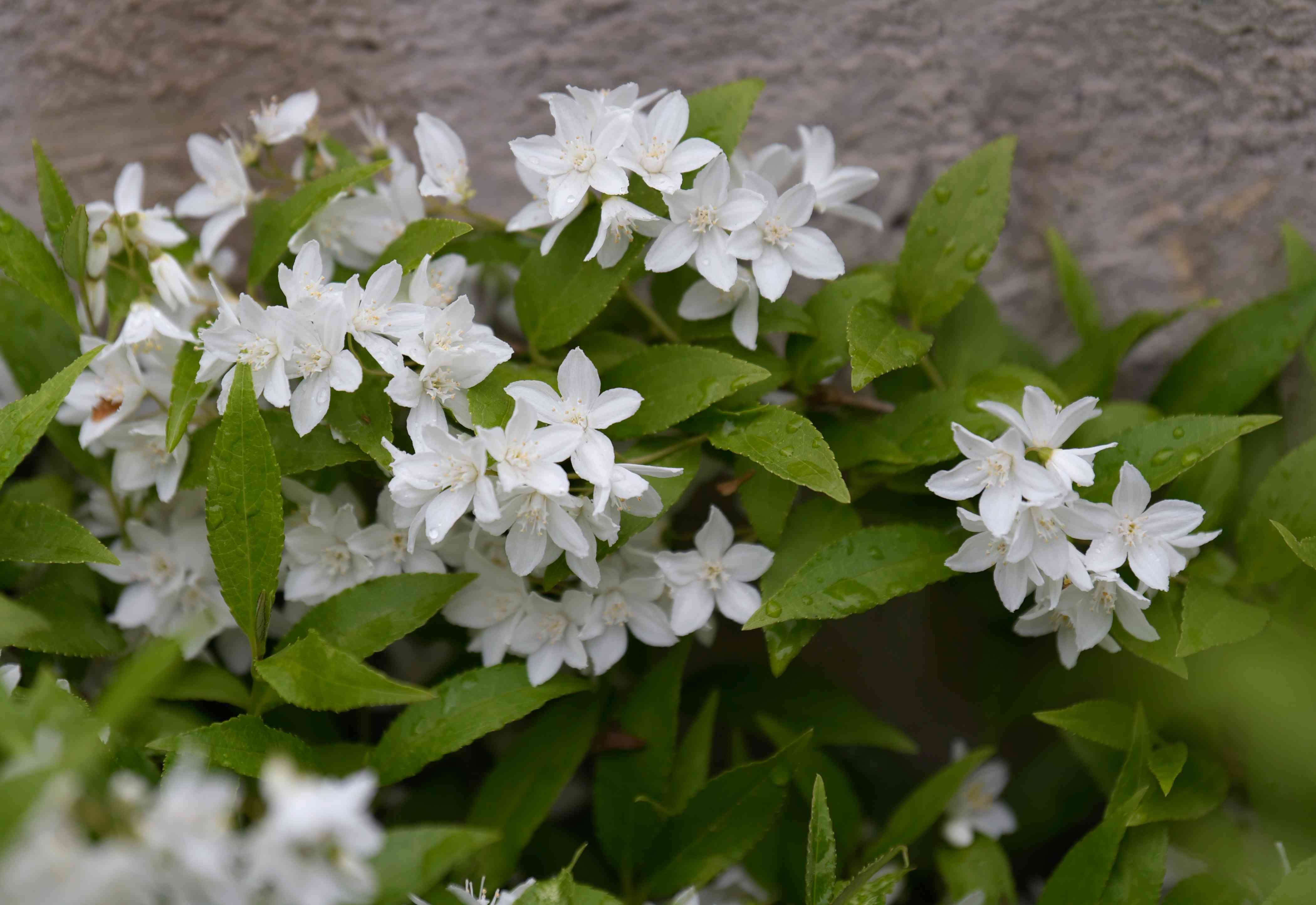Dwarf Deutzia 'Nikko' shrub with clusters of double white blooms surrounded by leaves
