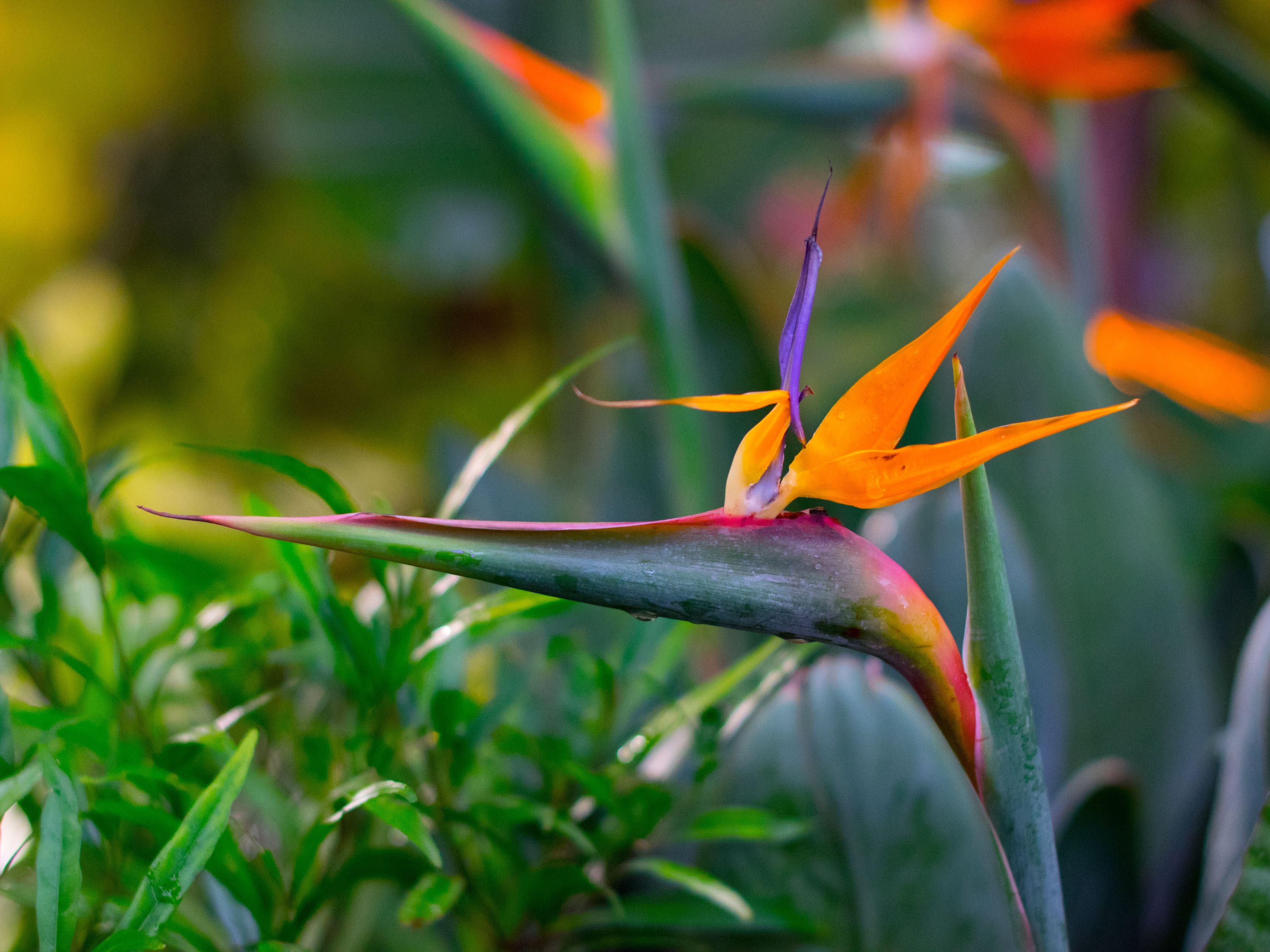 How to Grow Strelitzia (Bird of Paradise)