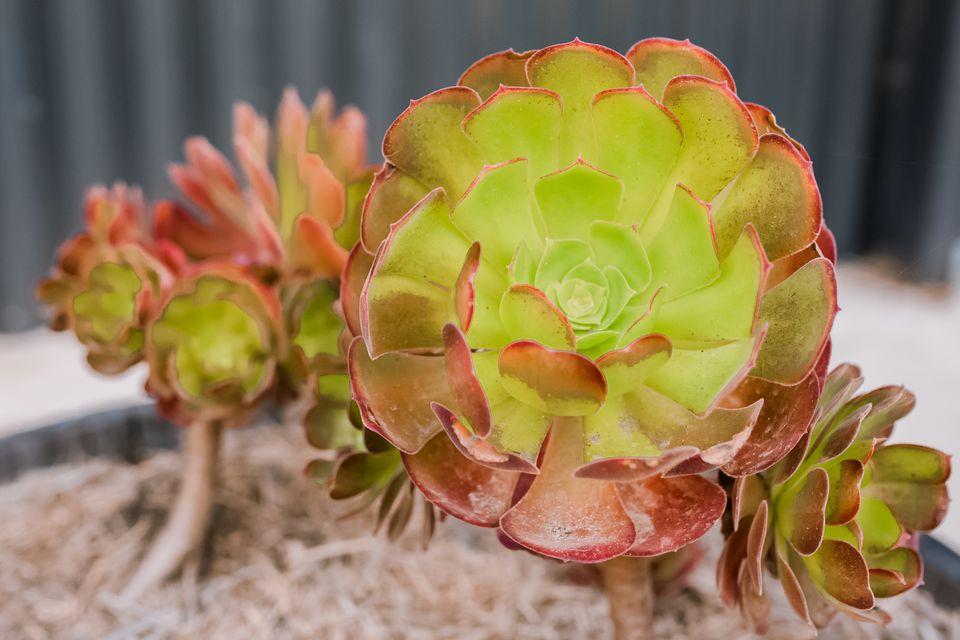 aeonium plants