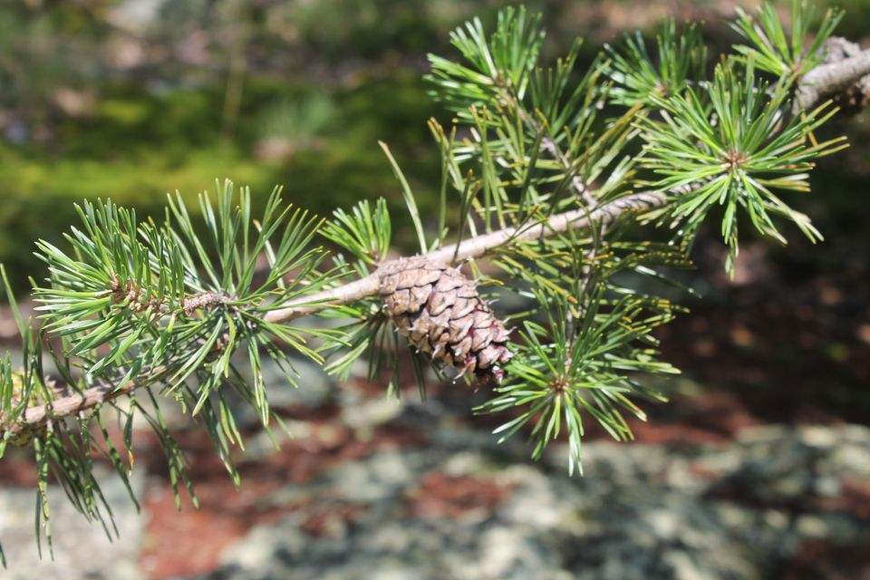 Branch of Virginia Pine with needles and cone