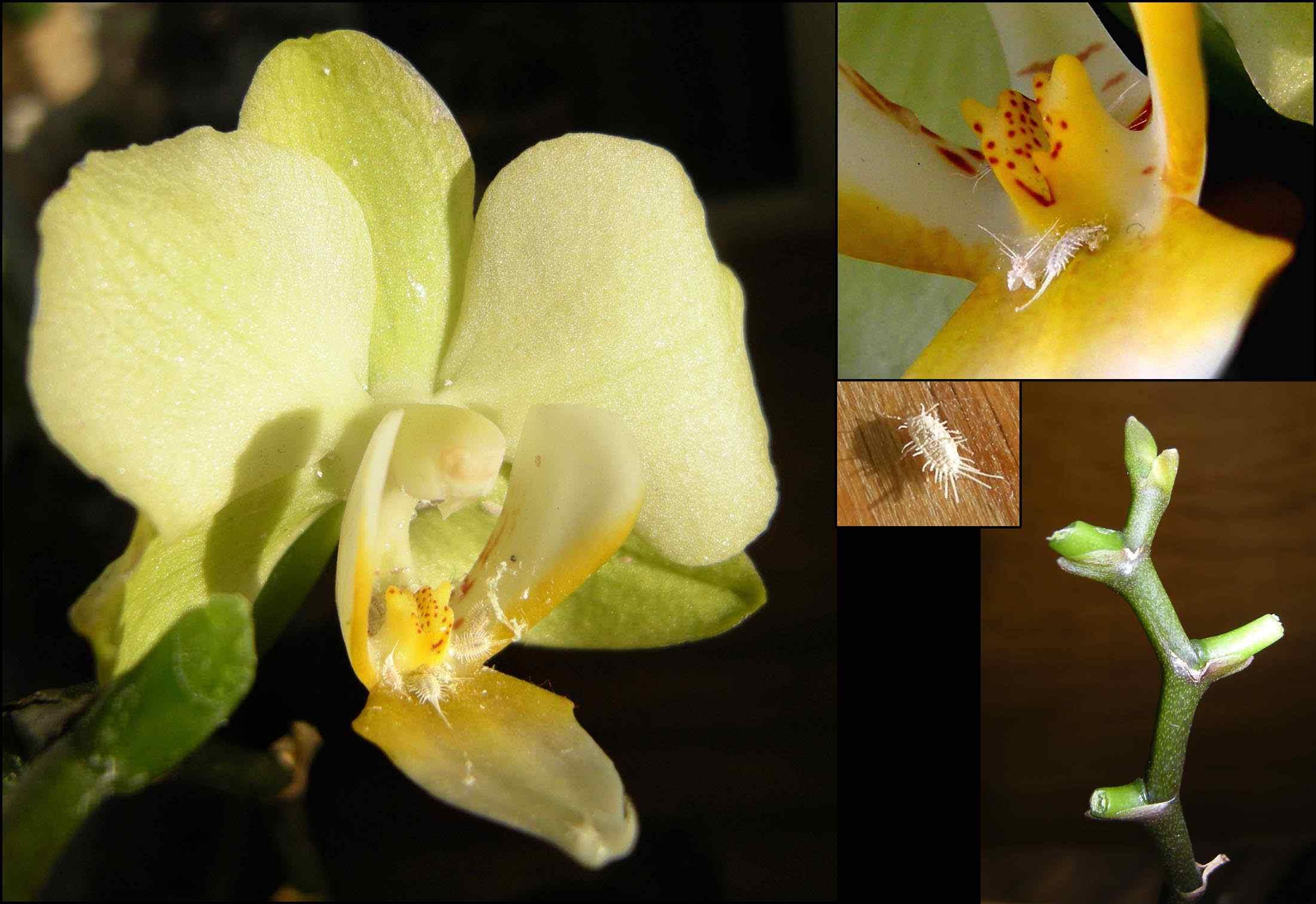 Cochinillas (Pseudococcidae) en Phalaenopsis y su versión amputada