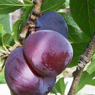 Fruto de nectarina colgando de un árbol