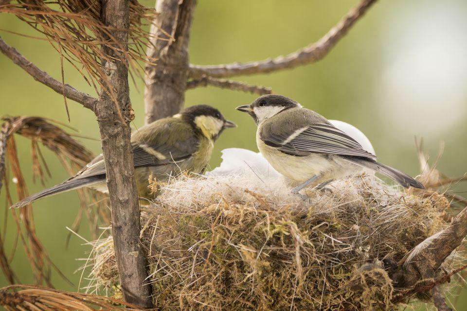 Two great tit (Parus major) birds in nest with eggs