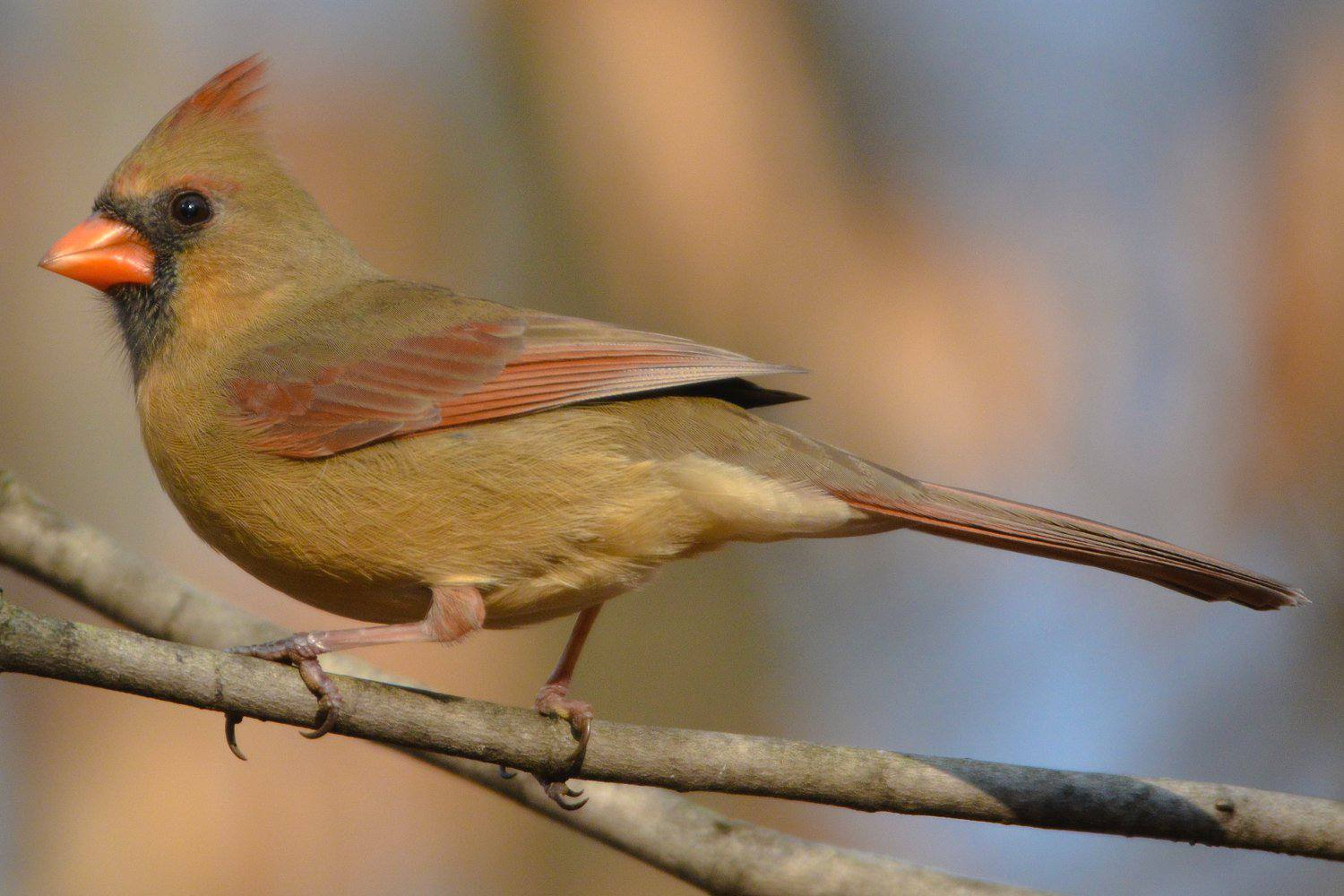 Northern Cardinal, the state bird of Indiana, on a tree branch.