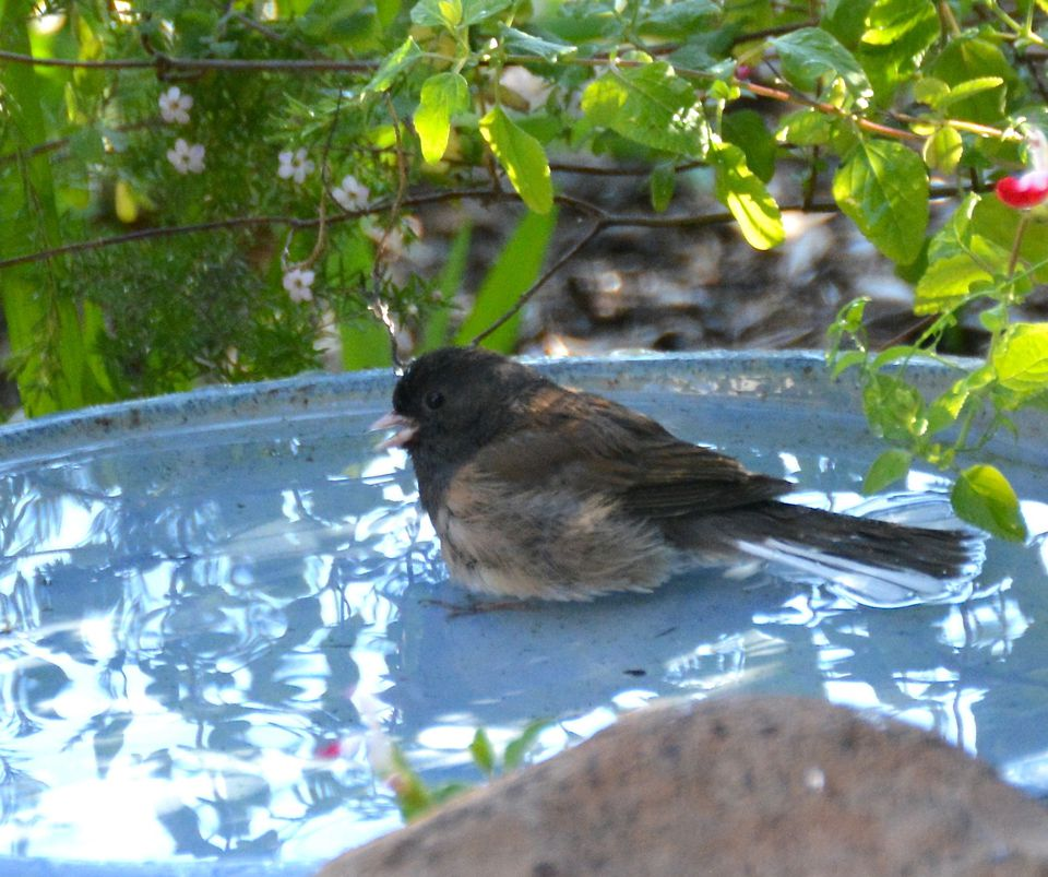 A junco in a bird bath