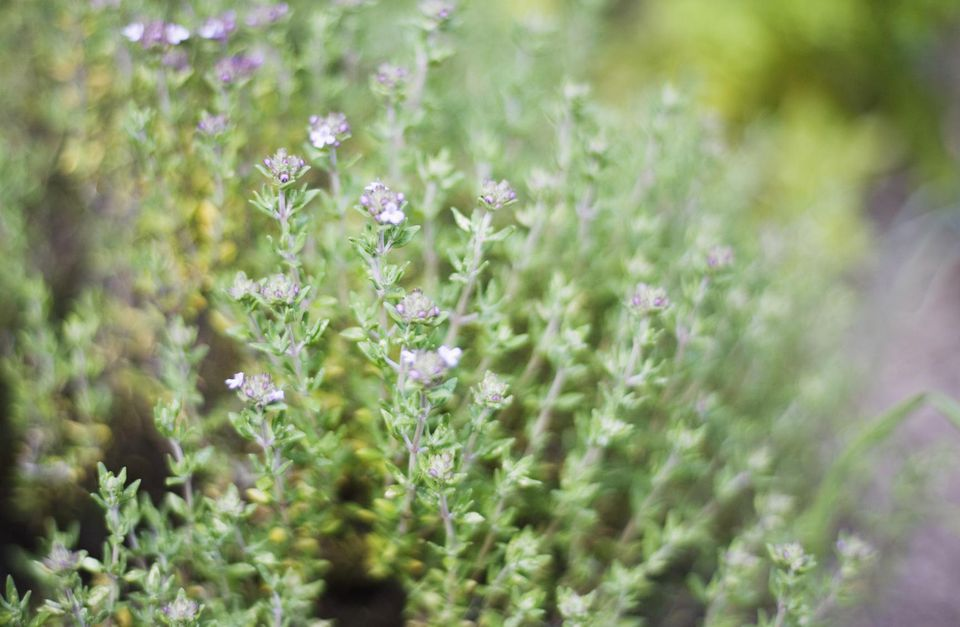 Thyme (Thymus vulgaris), close-up
