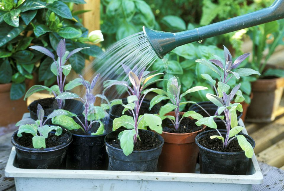 watering in of salvia officinalis or sage