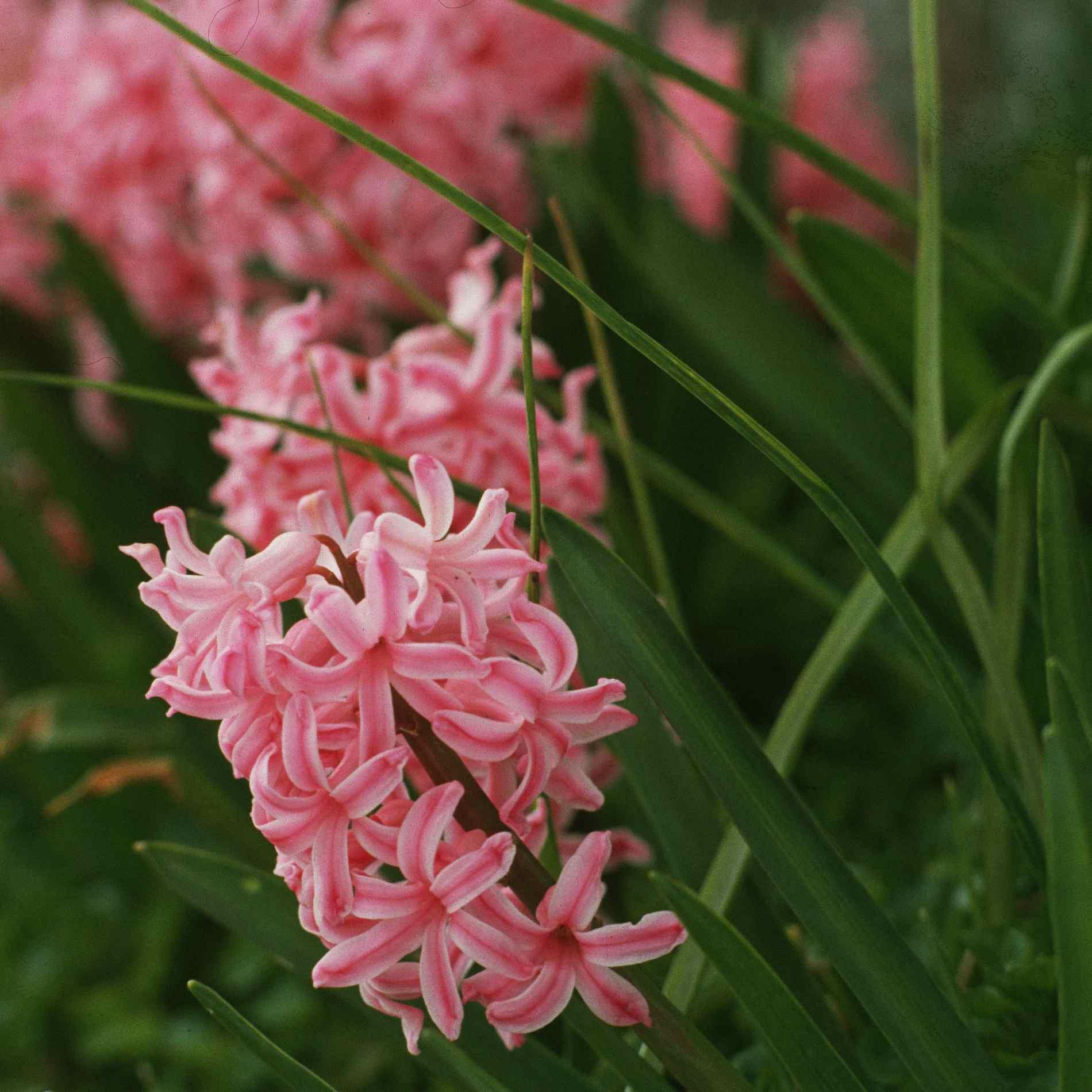 Pink Hyacinthus orientalis picture