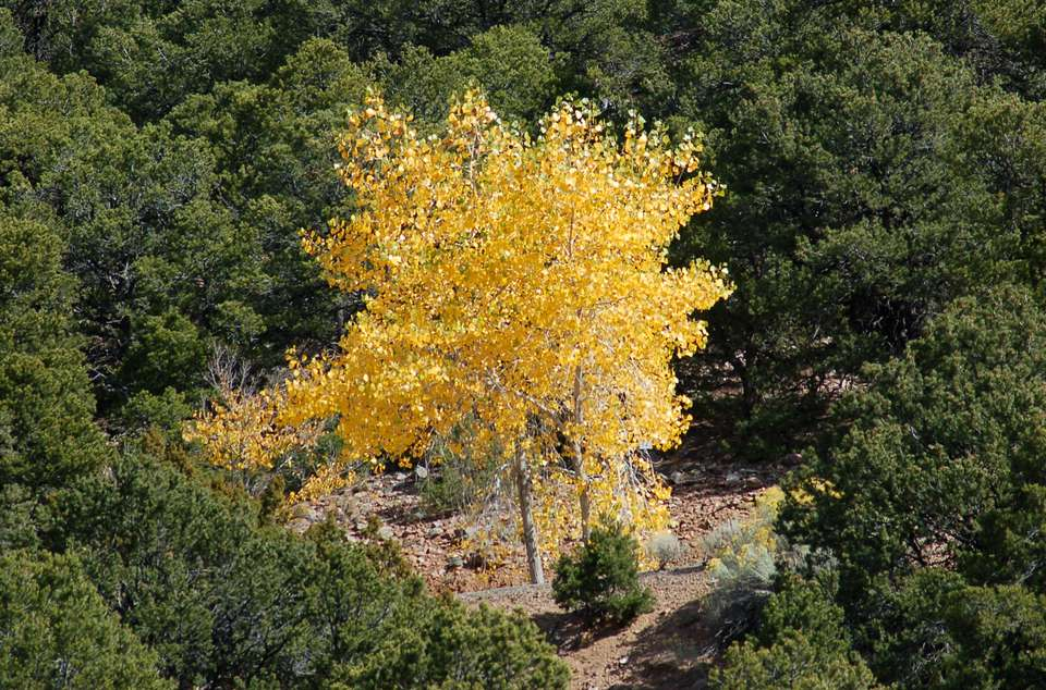 Fall foliage color of aspen trees.