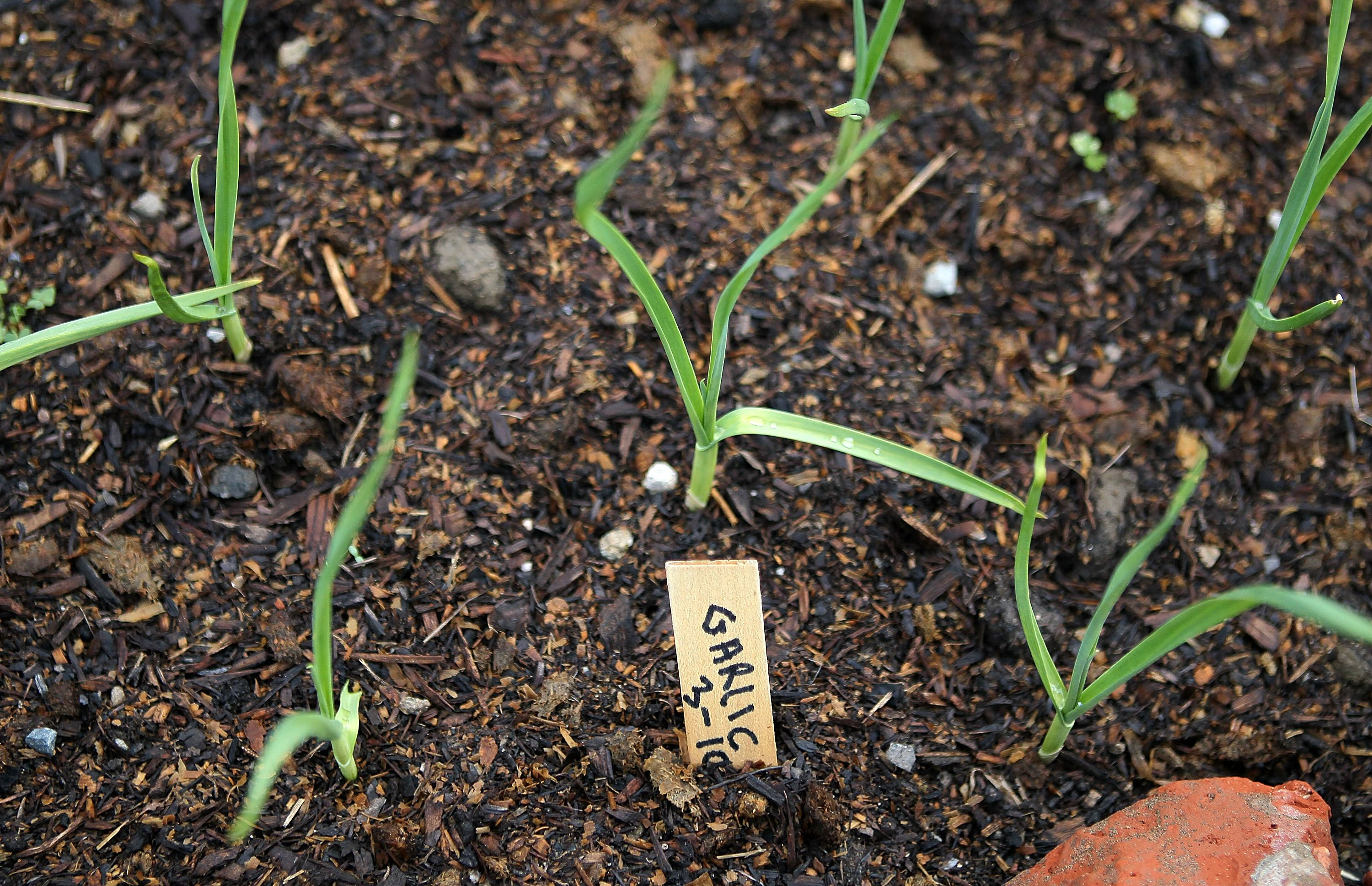 How To Prepare The Soil For Growing Garlic
