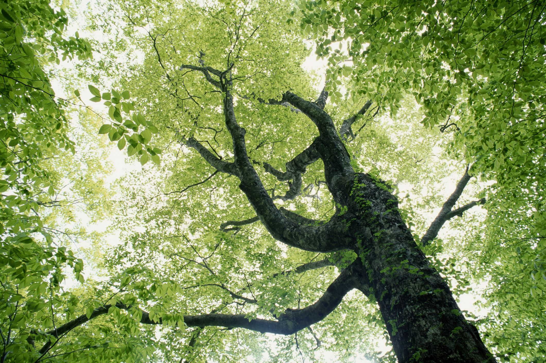 Five Kinds of Beech Trees