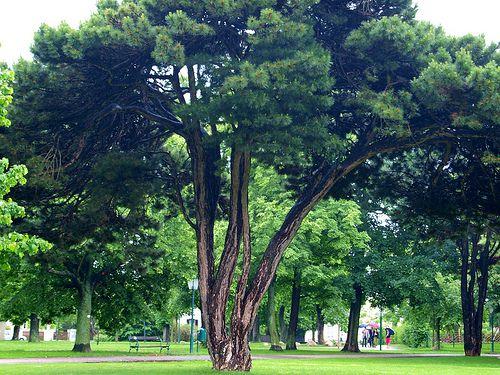 Imagen del pino austríaco