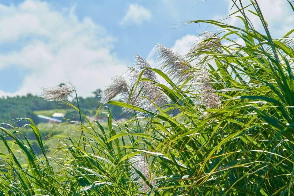 Sugar Canes (Saccharum officinarum) seed heads against a blue sky