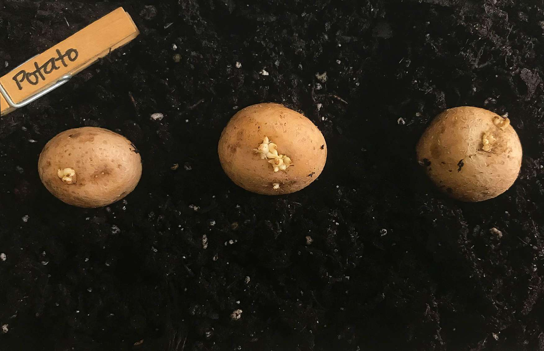 seed potatoes planted in rows