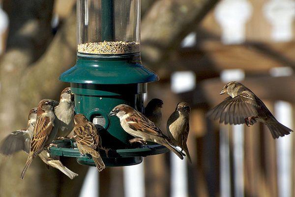 House sparrows at a birdfeeder