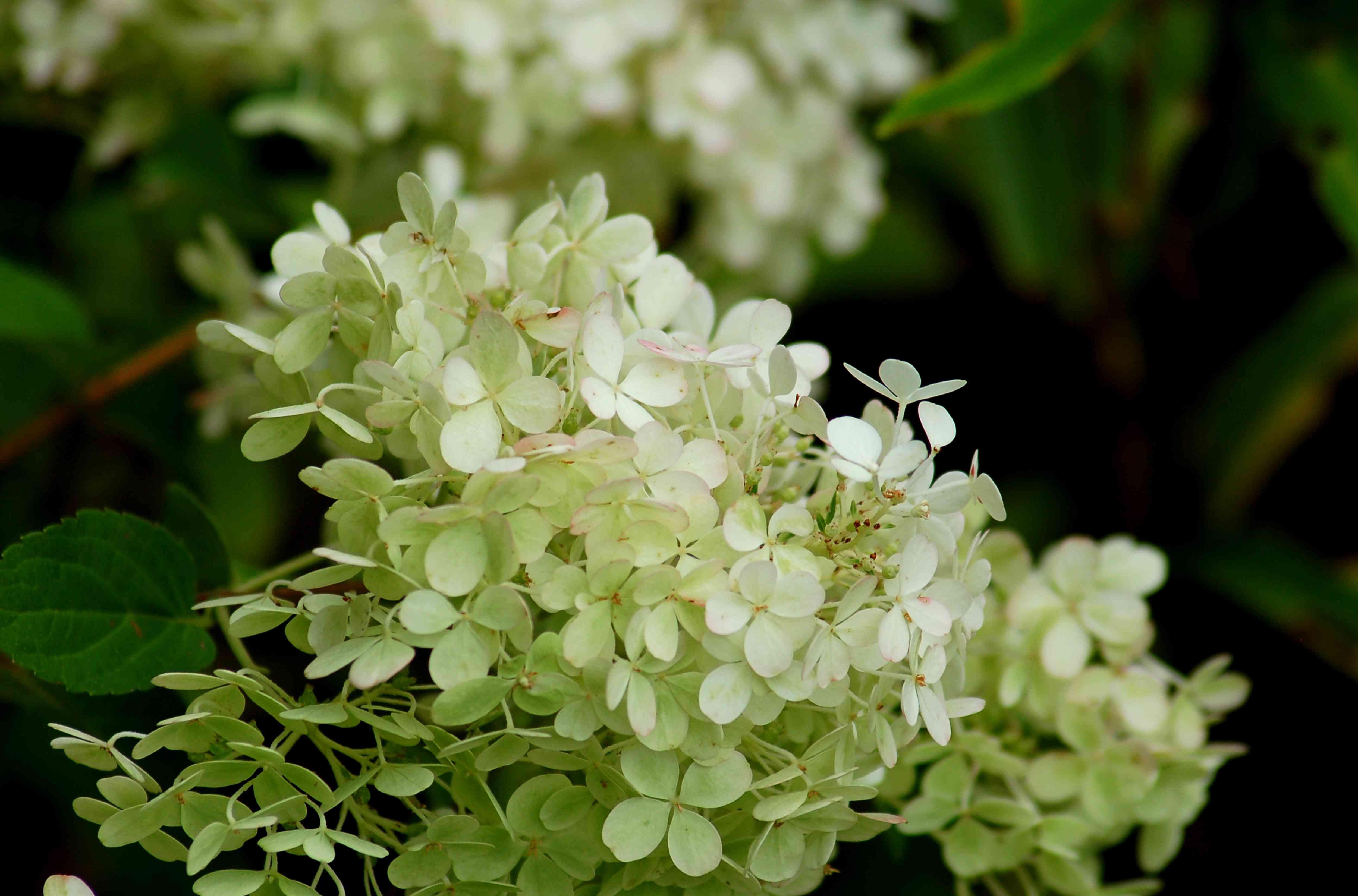 'Bobo' hydrangea with white flowers