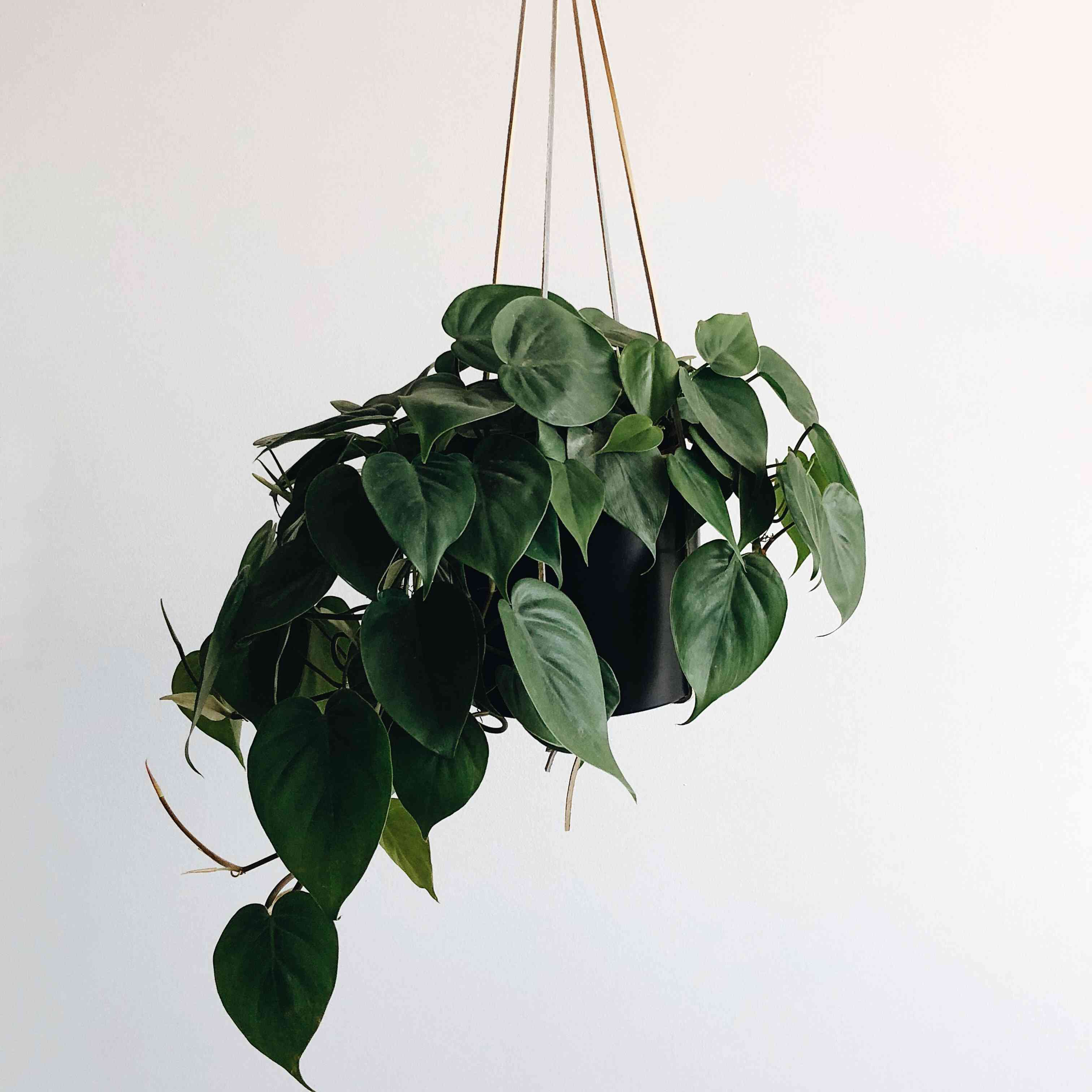 pothos plant hanging in a white room