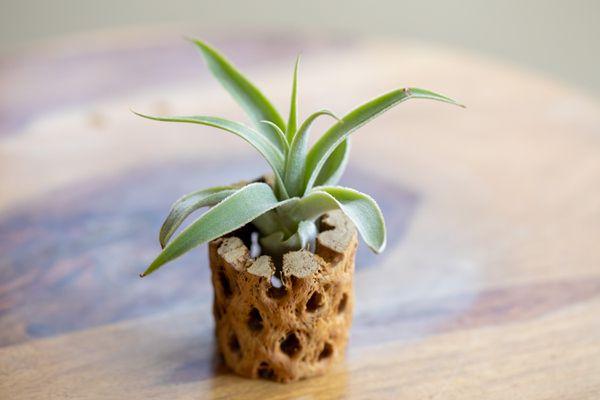 Tillandsia cacticola air plant growing in wooden holder