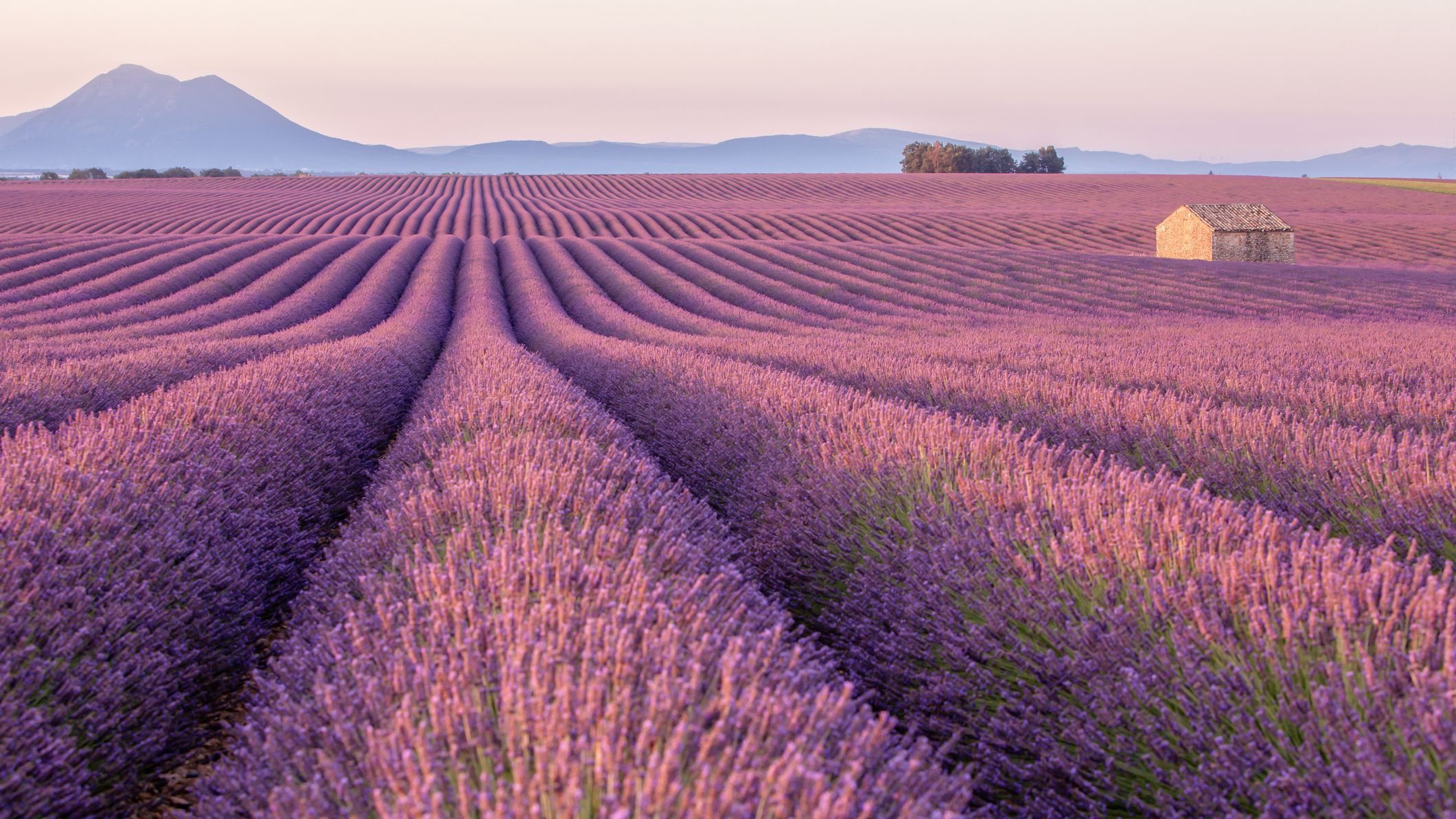 Lavender Care And Growing Guide