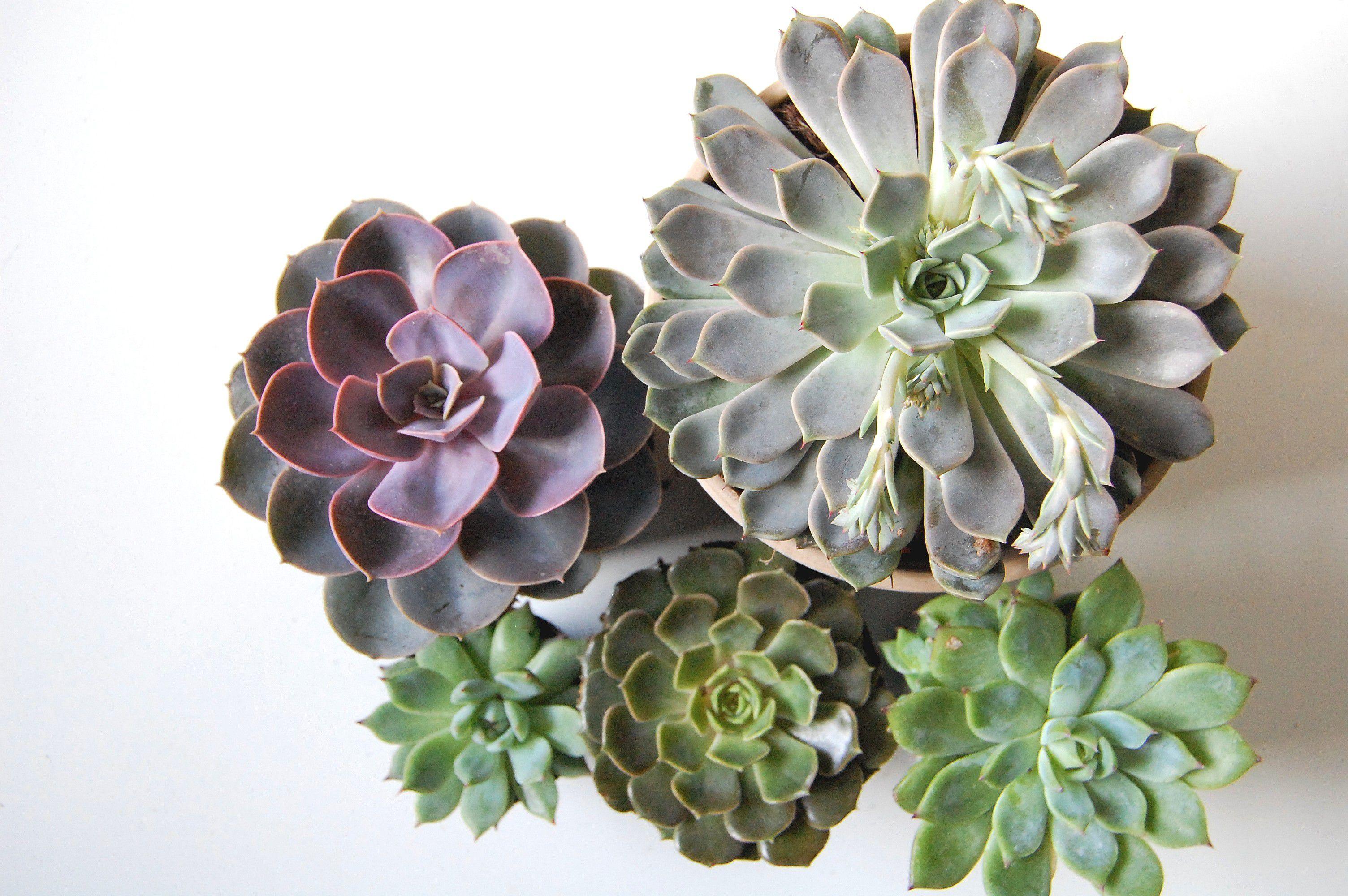 10 Most Popular Types Of Echeveria