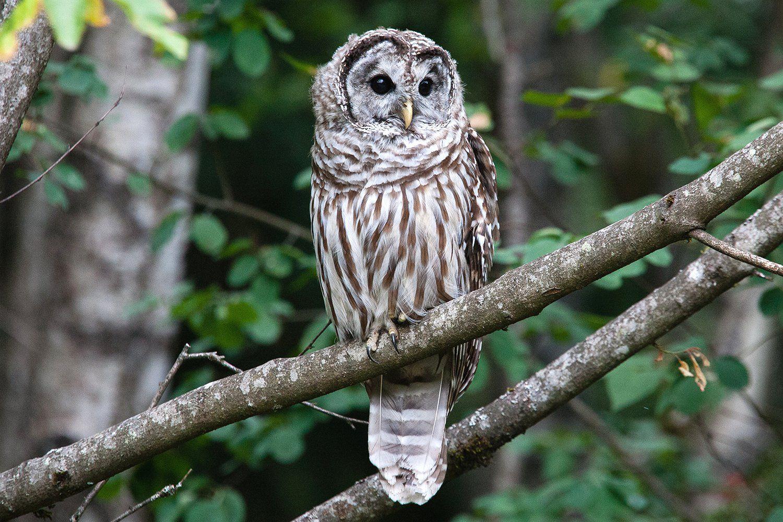 Barred Owl Strix Varia Hoot Owl