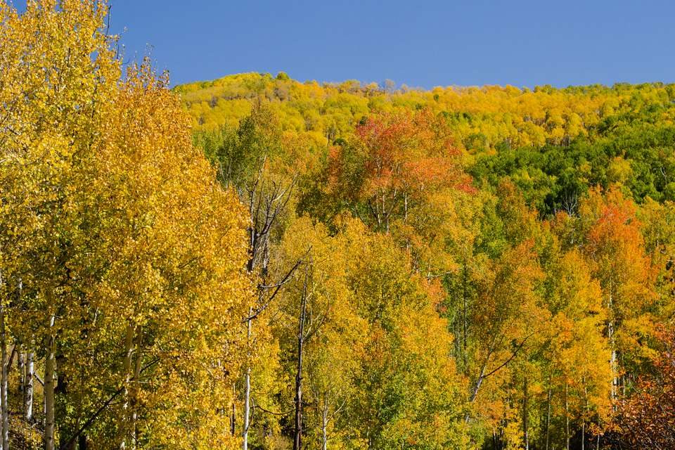 Quaking aspen trees with yellow, orange and green leaves in mountainside