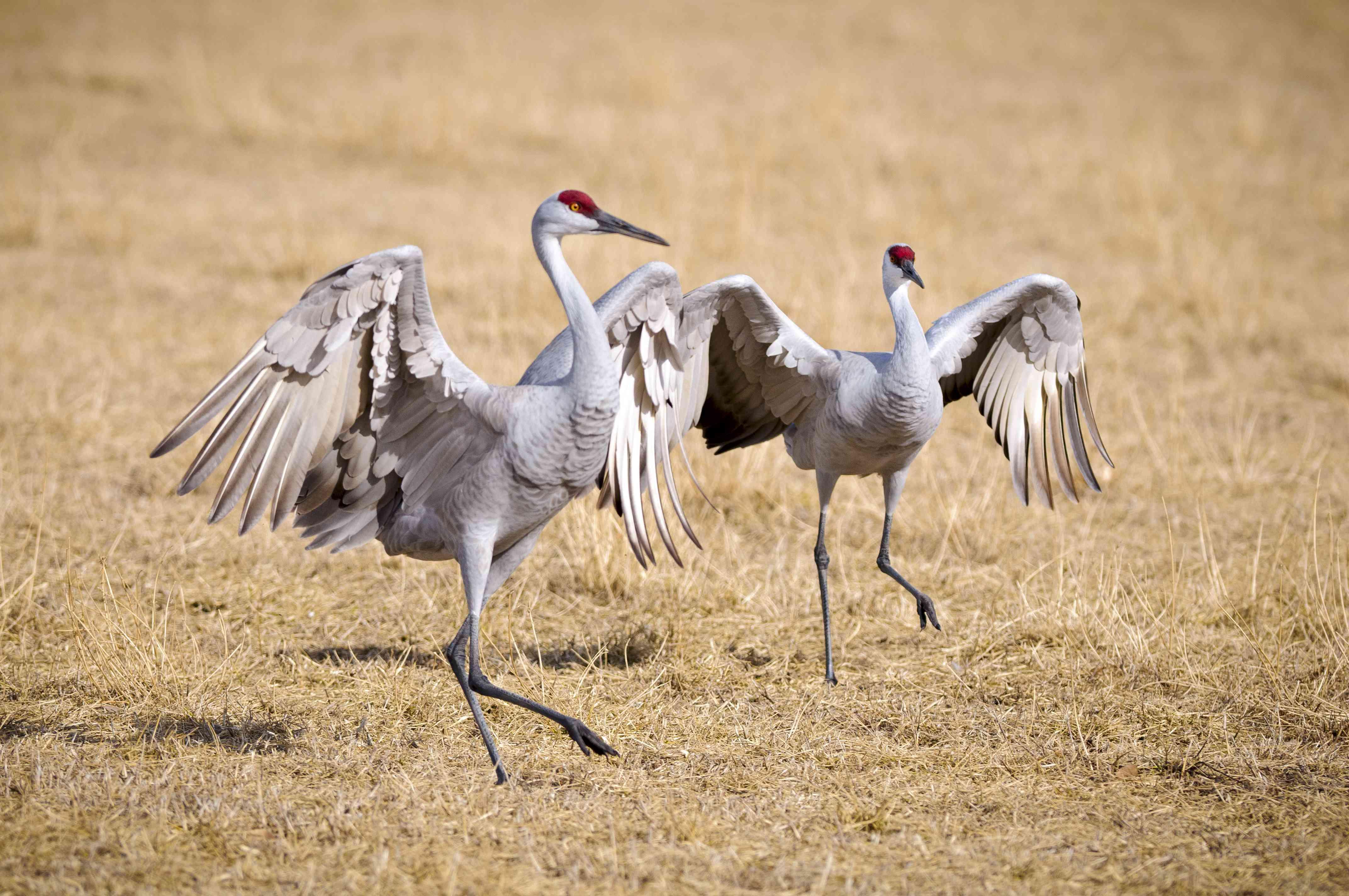 Sandhill Crane (Grus Canadensis) Dancing at the Edge Field