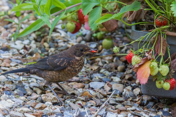 Bird stealing strawberries