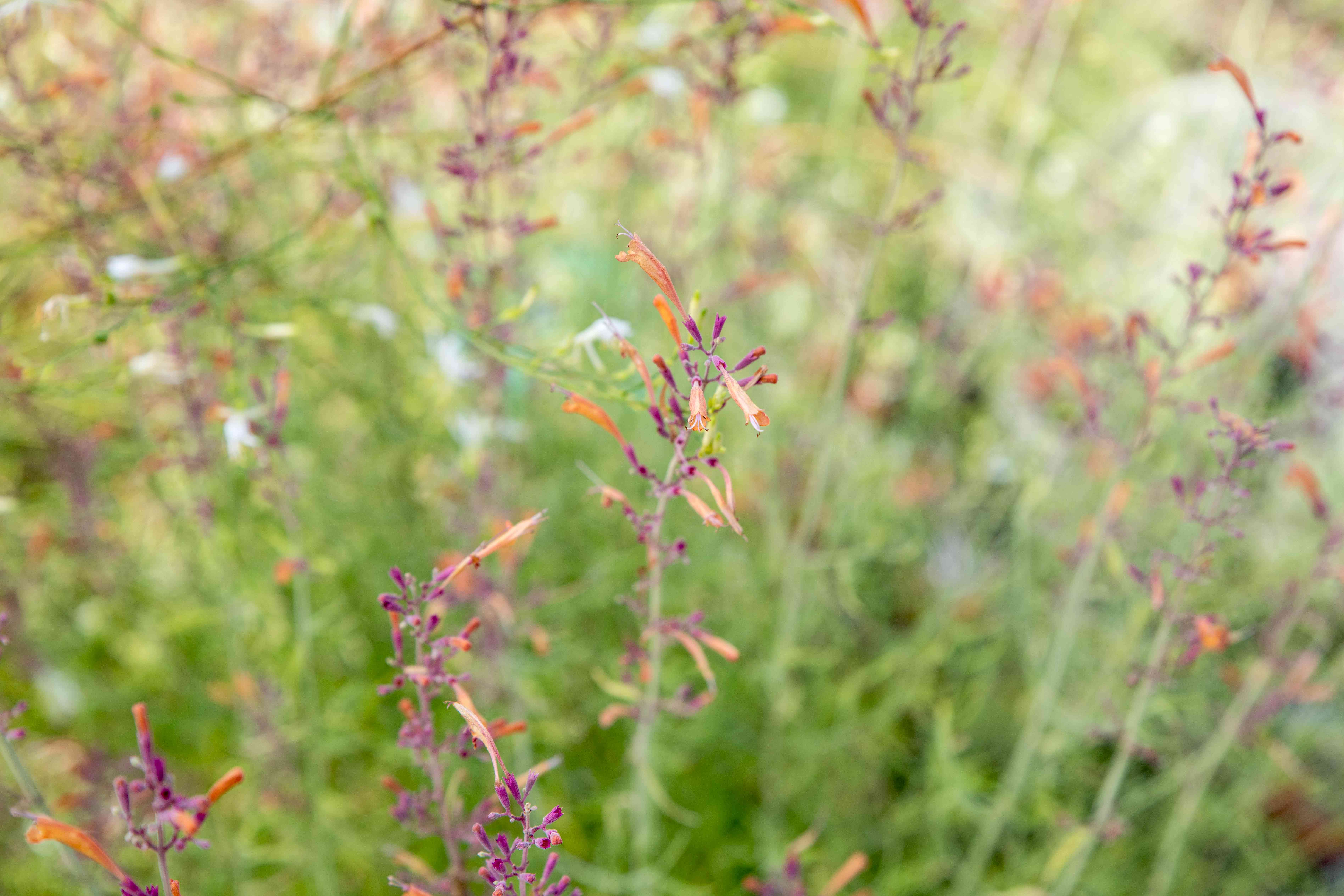 Sunset hyssop flowers on thin stems with orange trumpet-shaped blooms and pink buds