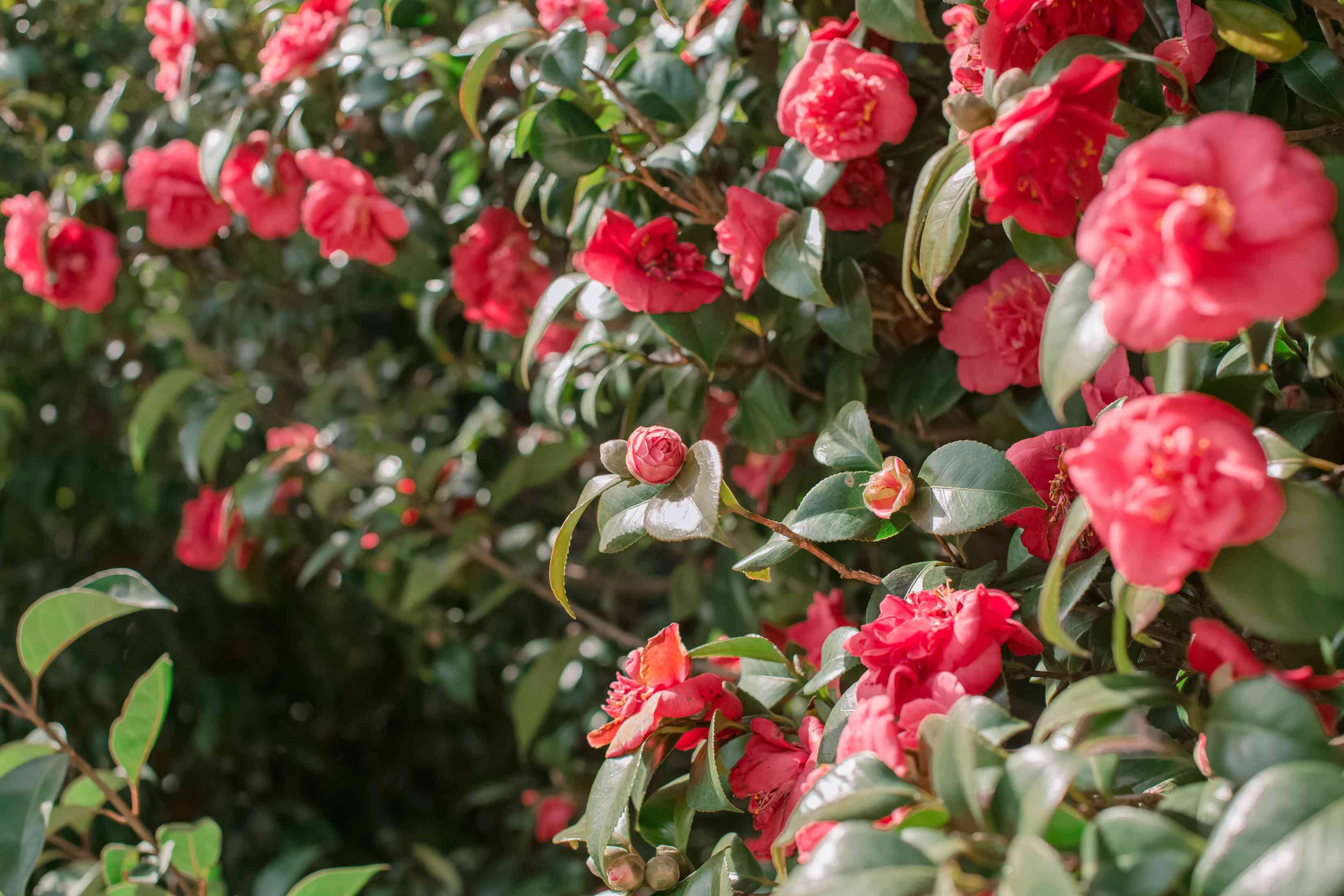 camellia shrub in bloom