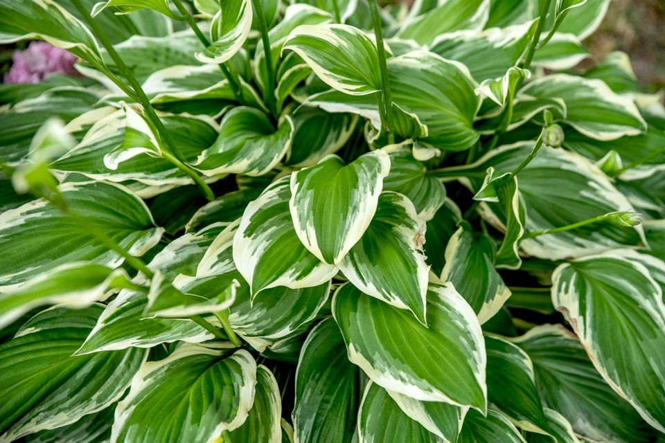 Francee hostas plant with green and white heart-shaped variegated leaves closeup