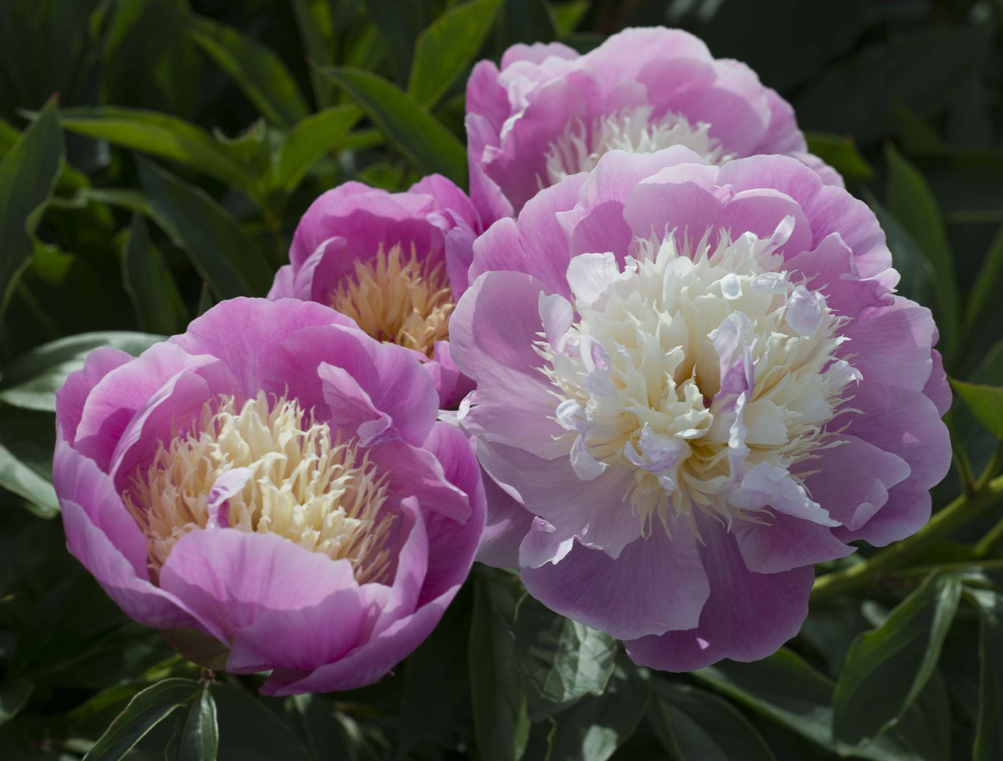 Pink and white peony flowers