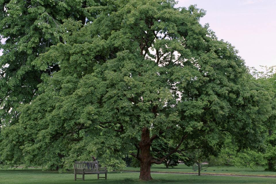 A distant paperbark maple (Acer griseum) in a park