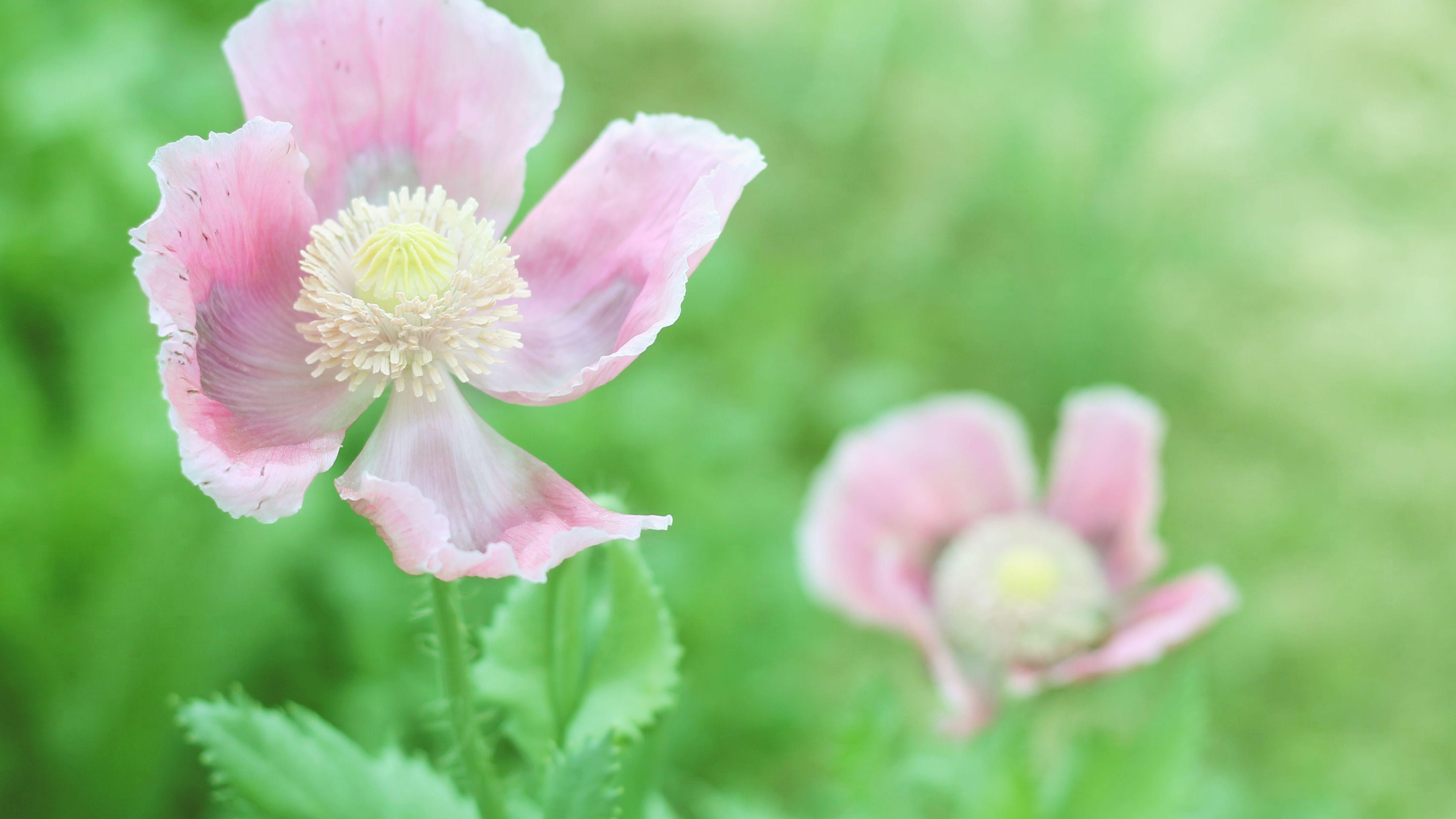 Growing Oriental Poppies