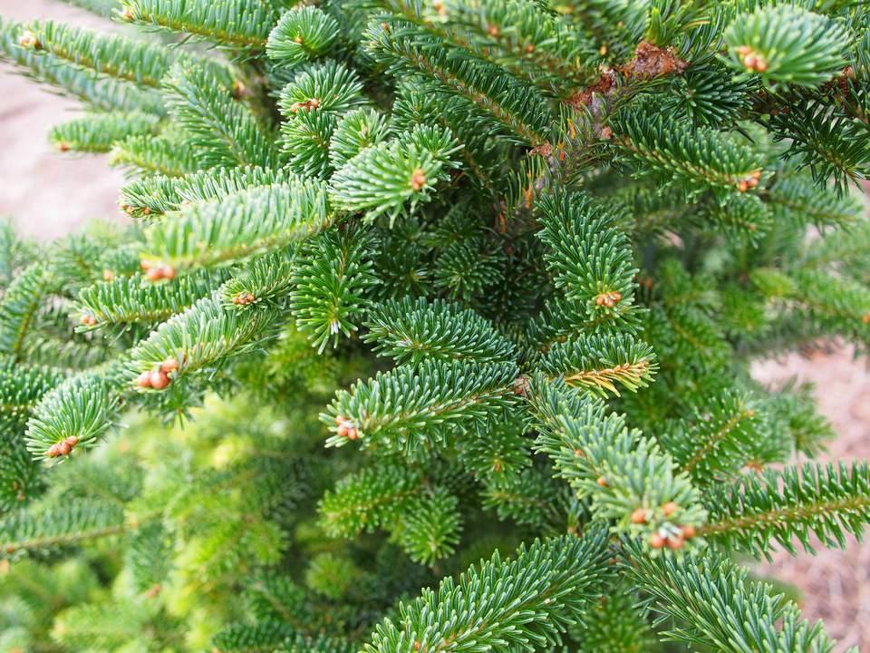 A close-up of a Fraser fir