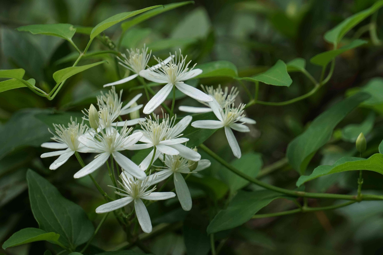 Sweet Autumn Clematis flower