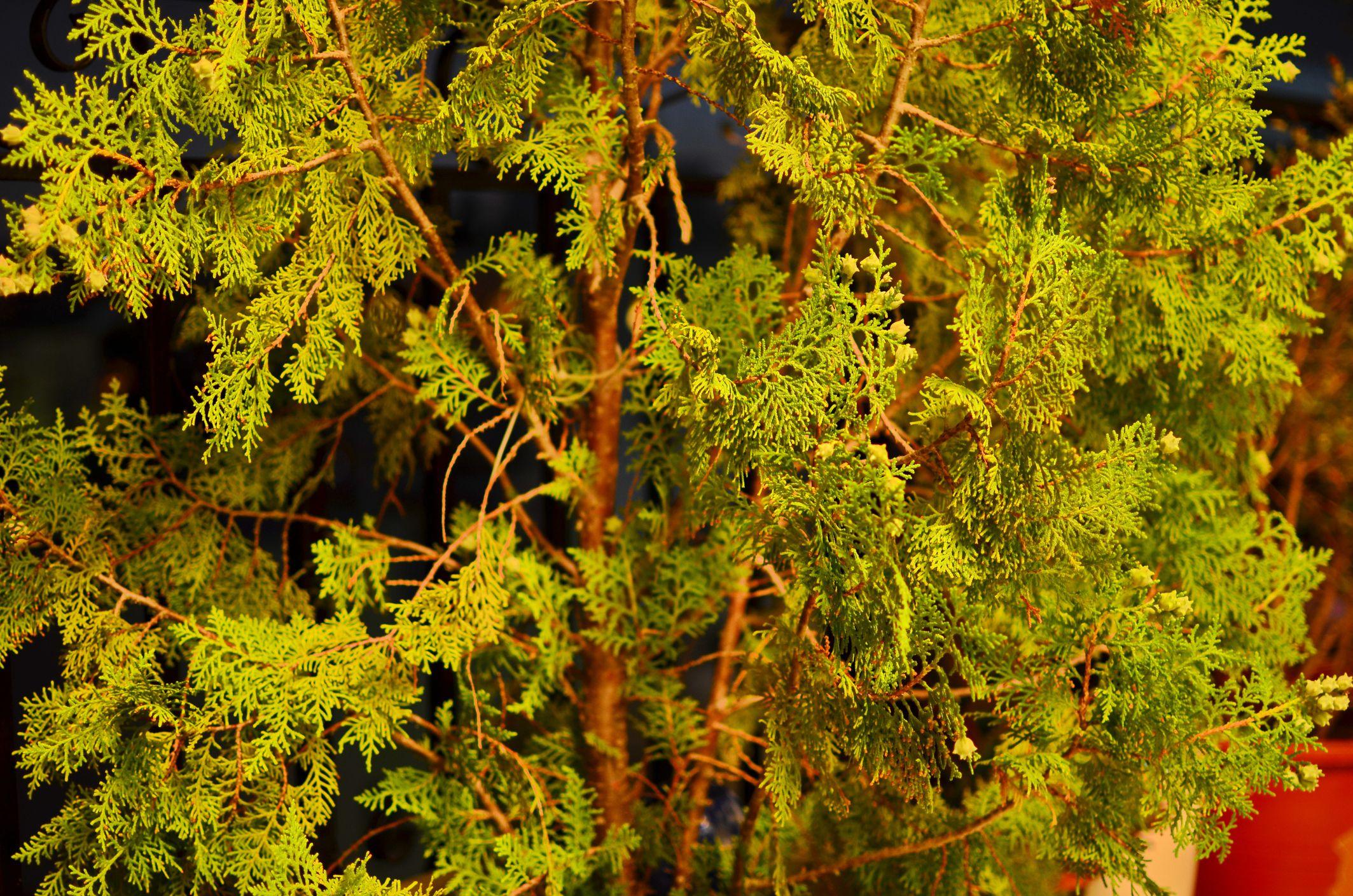 close up of leyland cypress