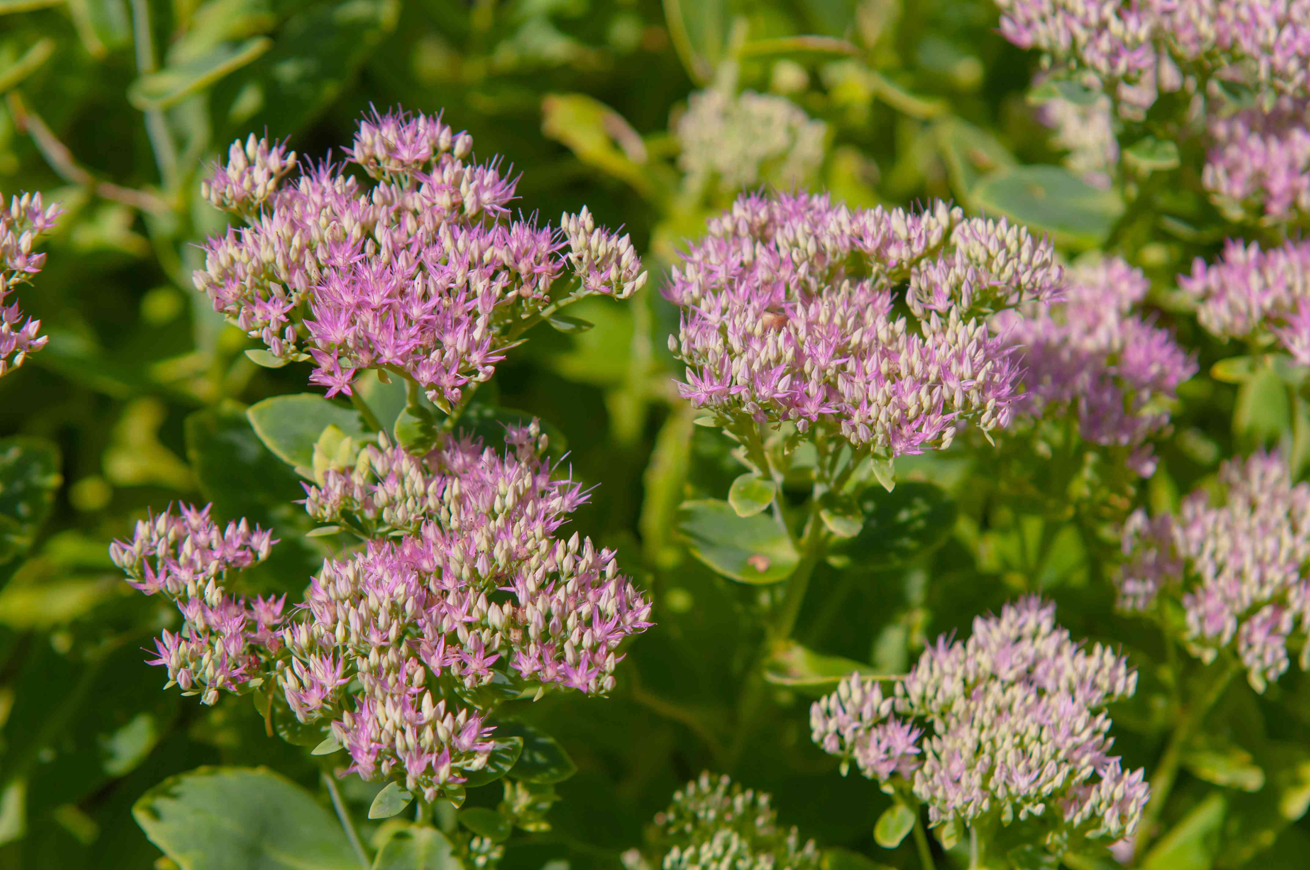 Stonecrop plant with small purple broccoli-like flowers in sunlight