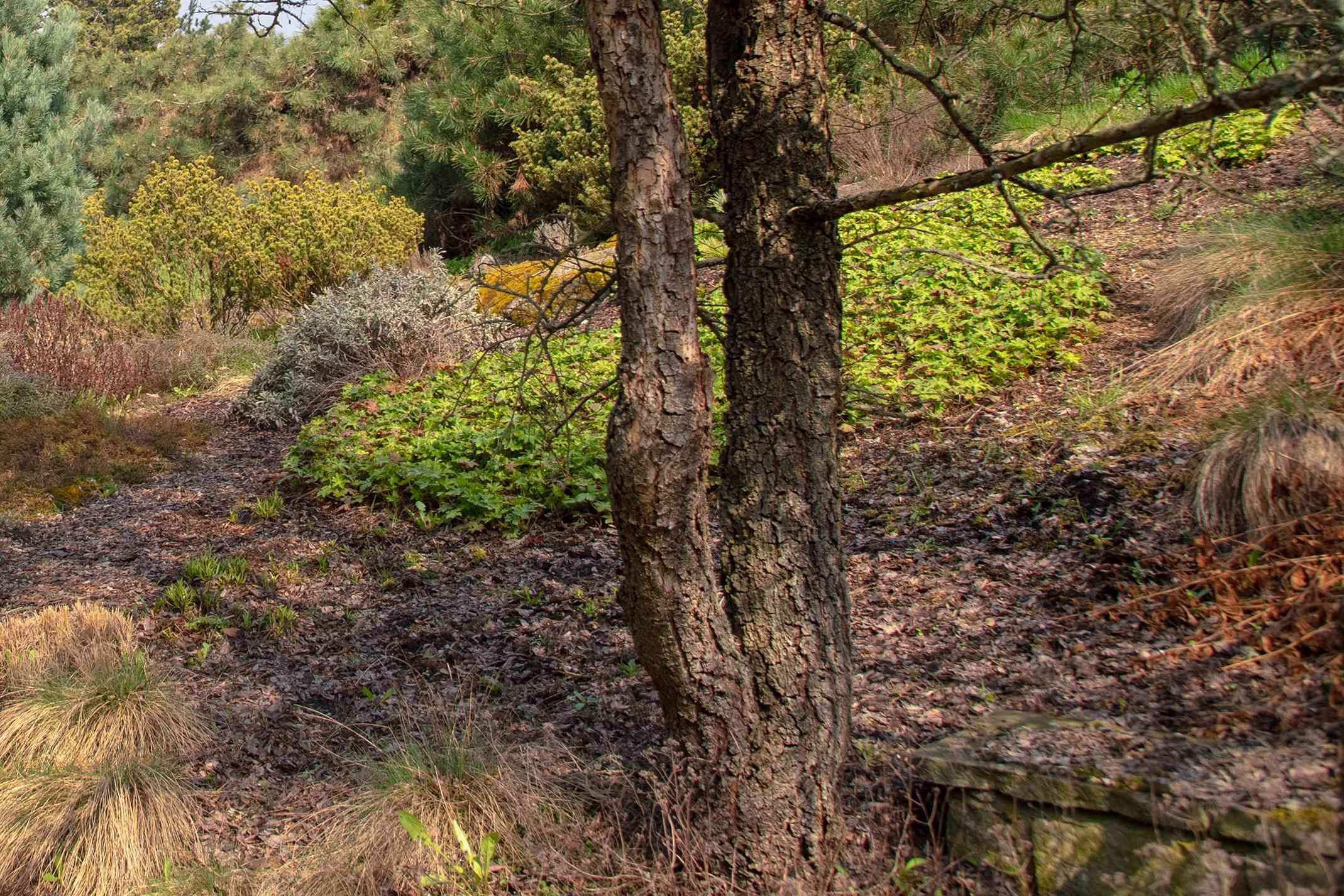 Lacebark elm tree with exfoliating bark patterns