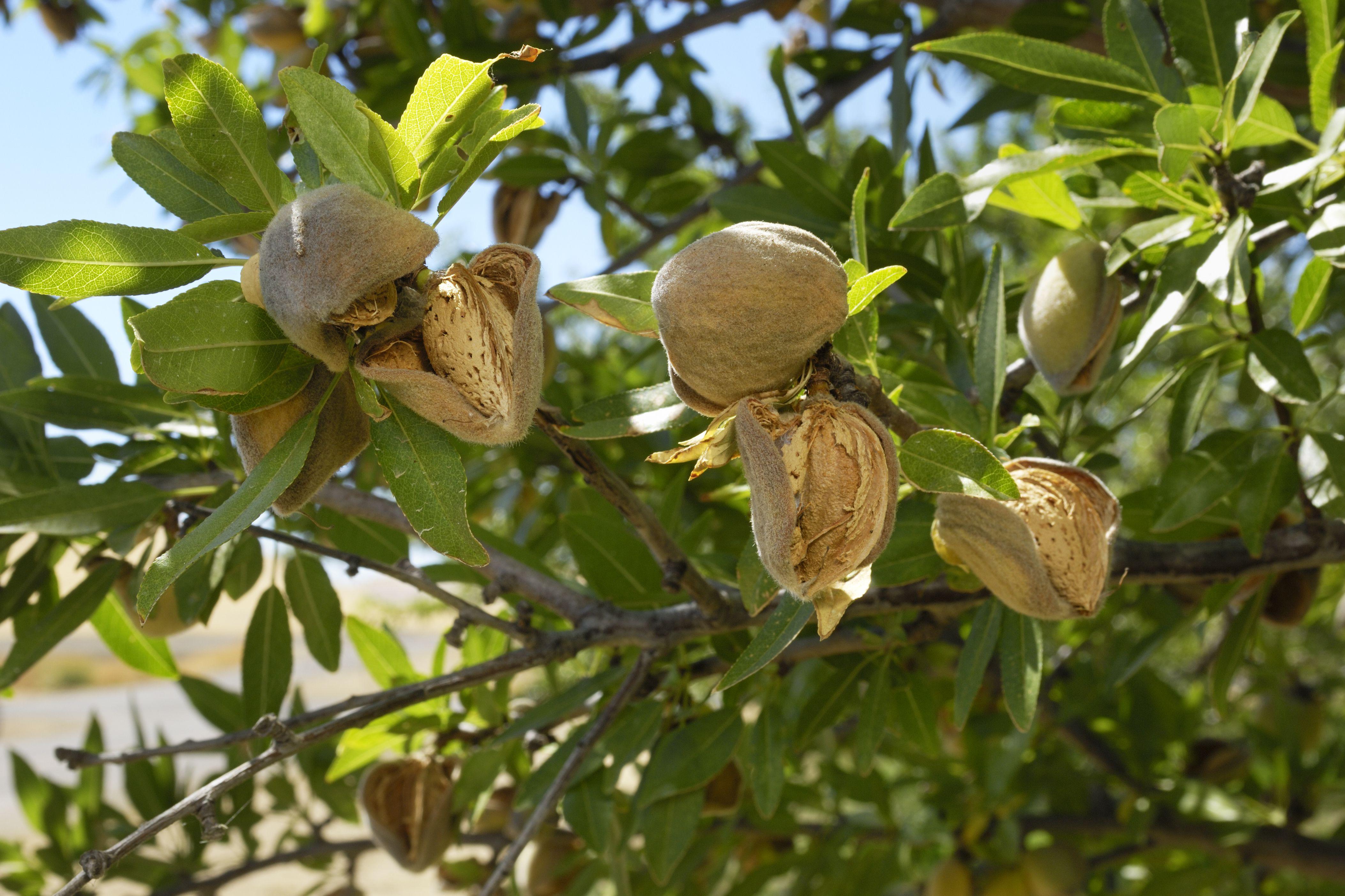 black almond tree removal - HD4212×2808
